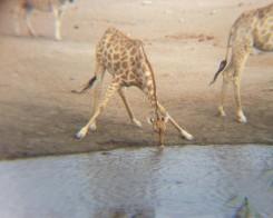 L'inchino della giraffa quando beve