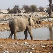 Elefante mentre beve