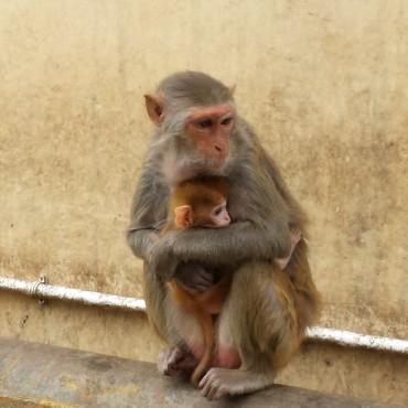 Scimmia mamma e figlio