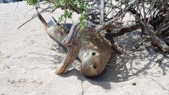 Leone marino - Punta Carola