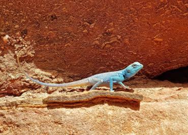 Lucertola blu