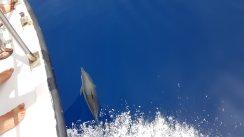 Delfini che ci seguono dalla barca