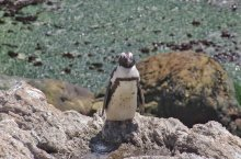 Pinguini a Stony Point