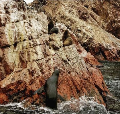 Leoni marini - Isole Ballestas